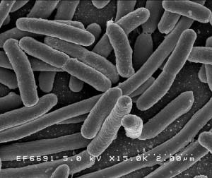 2011_06_bacteria_pepinos